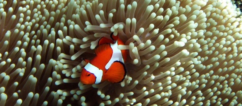 Amphiprion Ocellaris in Raja Ampat - Photo by: Hulivili