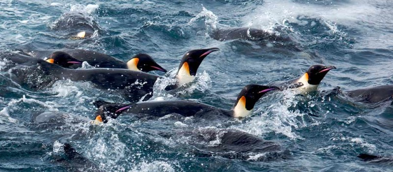 Waddling Penguins in Antarctica - Photo credit: Ian Duffy