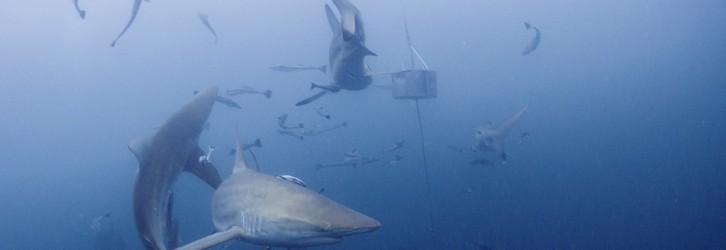 A shoot from a baited dive in Aliwal Shoal