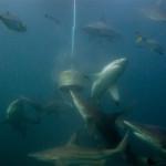 baited-dive-aliwal-shoal