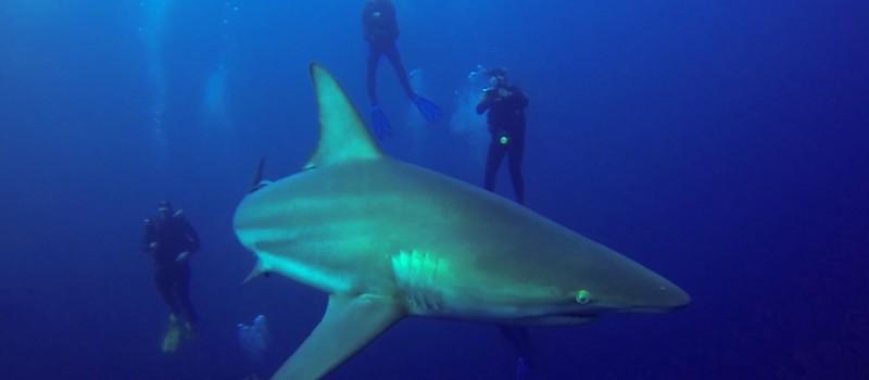 Blacktip shark around divers