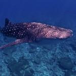 A big whale shark