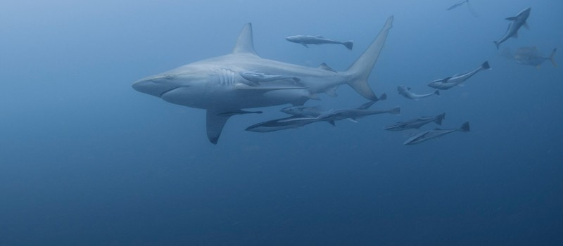 A blacktip shark