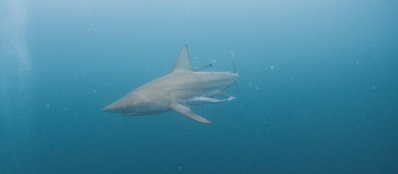 A blacktip oceanic shark