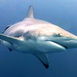 blacktip-shark-2