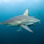 blacktip-shark-3