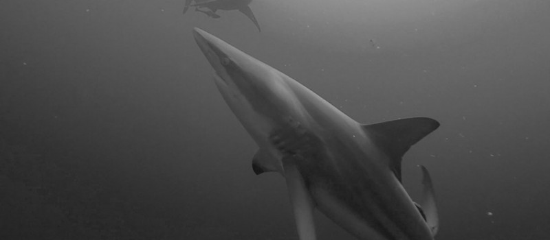 A couple of blacktip sharks