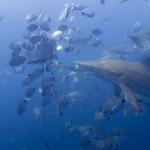 A blacktip shark during a baited dive