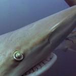 blacktip-shark-mouth