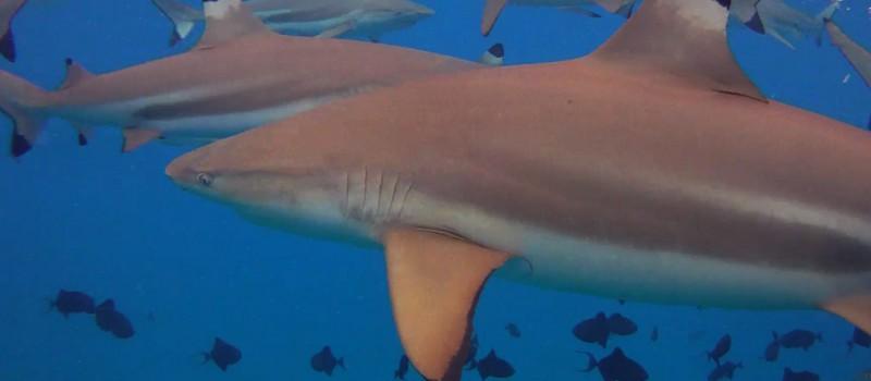 Blacktip sharks in French Polynesia - Photo by: Jon Rawlinson