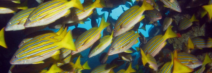 Bluestripe snapper - Photo credit: Andres Venegas
