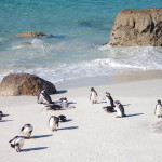 The penguins of boulders beach
