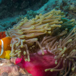 A Clownfish in its anemone