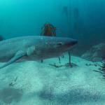 The seven gill shark
