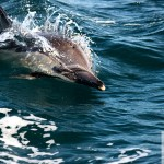 A dolphin during the Sardine Run