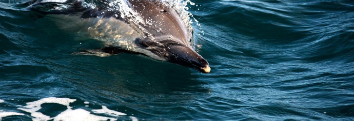 A dolphin during the Sardine Run