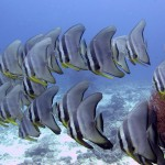 A school of Batfish