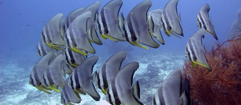 A school of Batfish