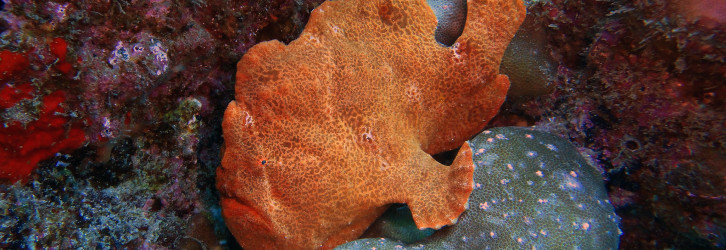 Frogfish - Photo credit: Andres Venegas
