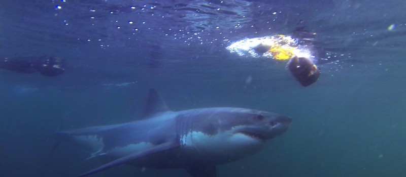 A great white shark attacking a decoy seal