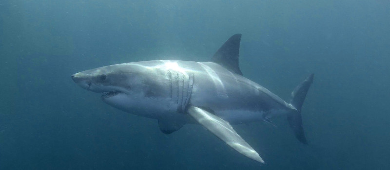 great-white-shark-south-africa-2014