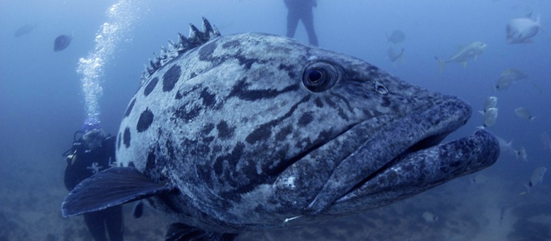 A close up of a grouper (potato bus)