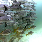 Grunt fish school