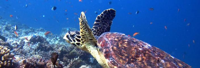 Dive Mushimasmigili Thila in the Maldives