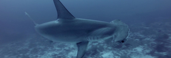 Dive with Hammerhead Sharks in Gordon Rocks – Galapagos