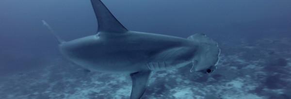 Dive with Hammerhead Sharks in Gordon Rocks – Galapagos