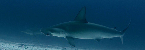 The Hammerhead Triangle – Cocos, Galapagos and Malpelo