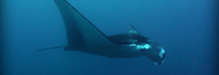 Manta Rays of the Maldives