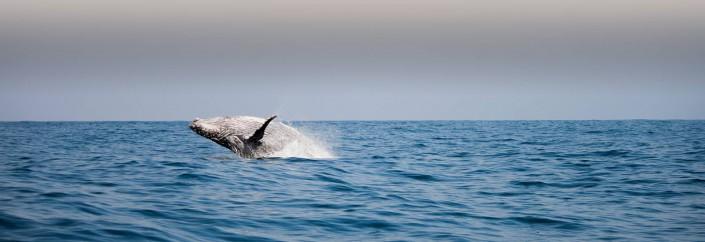 Sardine Run: the greatest shoal on earth