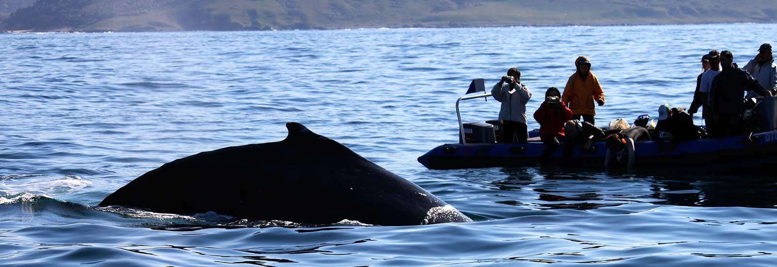 h-whales-migration