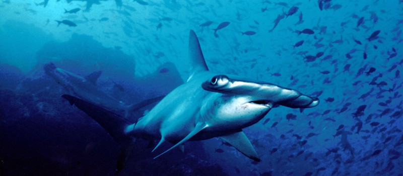 Hammerhead sharks in Cocos Island - Photo by: Barry Peters