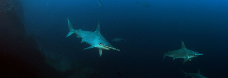 Hammerheads - Photo credit: Andres Venegas