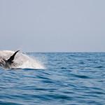 humpback-whale-1