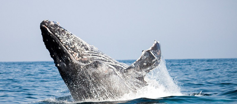 A humpback whale breaching at the Sardine Run