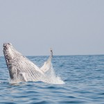 June / July is the best time to see humpback whales