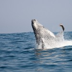 A humpback whale at the Sardine Run