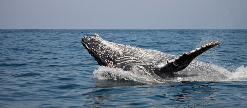 A humpback whale swimming on the surface
