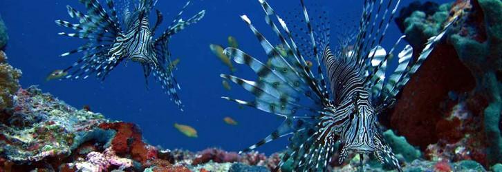 Thilas are fantastic places to spot lionfish