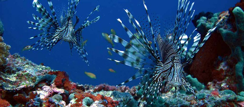Thilas are fantastic places to spot lionfish