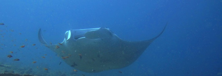 Mantas can be often found in the kandus
