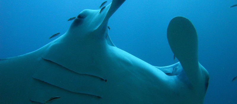 A manta ray from the Maldives