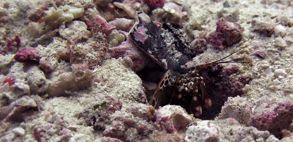 articles about mantis shrimp