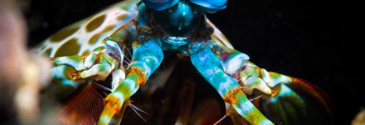 A mantis shrimp in North Sulawesi - Photo credit: Nadia Aly
