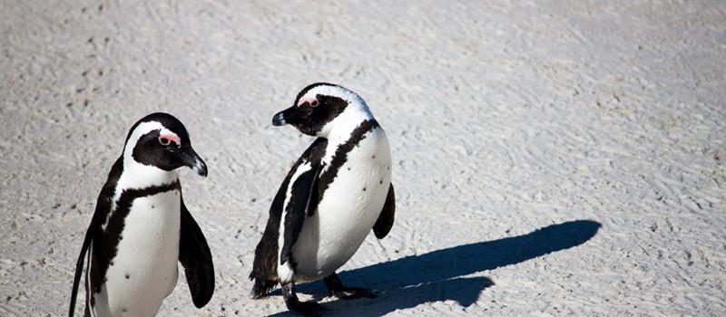 Penguins in Boulders Beach