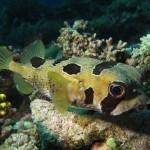 A porcupinefish
