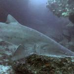 ragged-tooth-shark-1